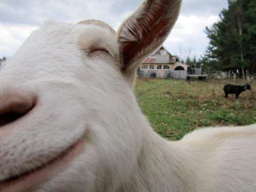 derpy_goat