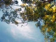 moxie tree