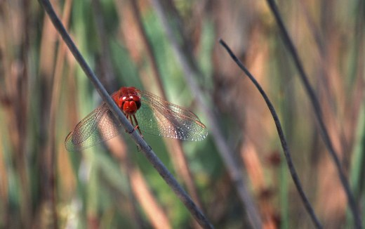 _1090886_red-dragonfly_gimp