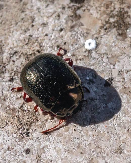 escarabigpto